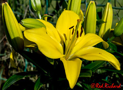 Asiatic Lily (red.richard) Tags: asiatic lily flower stamens petal yellow garden