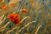 cornflowers before sunset (Nils Hempel | Photography) Tags: cornflower nature plants flowers red macro beautiful colors ngc
