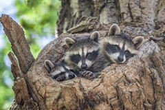 Three of the Cubs (Tom Kilroy) Tags: animal mammal wildlife nature cute fur forest raccoon animalsinthewild snout small looking outdoors younganimal cub brown albuquerque northvalley alameda