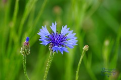 A beautiful flower of the field  :-) (Jurek.P) Tags: flowers flower kwiaty chaber cornflower masuria mazury meadow fleld plants rośliny poland polska jurekp sonya77