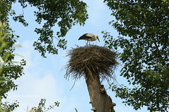 the nest (photos4dreams) Tags: gersprenz münster hessen germany naturschutz nabu naturschutzgebiet photos4dreams p4d photos4dreamz nature river bach flus susannahvictoriavergau susannahvvergau eventphotos4dreams bird birds storch stork adebar nest nestbau canoneos5dmark3 störche frosch frösche hase vogel vögel dragonfly damselfly libelle natur