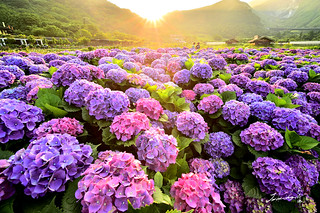 Hydrangea field @ Yangmingshan National Park