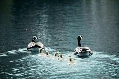 DSC_1824 (Master KZ) Tags: nikon nikond850 canadiangoose goose family geese