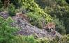 cabra salvatge de Montserrat (JavierQueralt) Tags: 2018 animales barcelona catalunya color d7100 dx españa javiermartinezqueralt lanscape montserrat naturaleza nikon paisaje