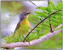 Nashville warbler (RKop) Tags: mageemarsh ohio raphaelkopanphotography d500 nikkor600f4evr 14xtciii warblers warbler wildlife