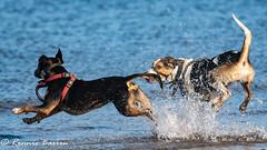 whoopee (RCB4J) Tags: ayrshire clydecoast firthofclyde irvinebeach jakob rcb4j ronniebarron scotland sigma150500mmf563dgoshsm sonyilca77m2 art babygrace beach dobermanterrier dogs fun photography play playing sand siameselurcher traile trailhound