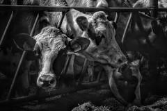 (marco.toet) Tags: light moody lowkey monochrome zwartwit schwarzweiss noiretblanc blackandwhite blackwhite koeien koe boerderij küh bauernhof farm farmanimal animal cow