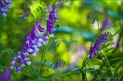 26 maggio 2018 (adrianaaprati) Tags: caffarella nature outdoors flowers colors green purple may spring macro grass viciasativa bunches blur bokeh