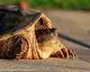 Alligator Snapping Turtle (jasenhigdon) Tags: turtle reptile basking
