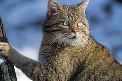 Nice wildcat looking around (Tambako the Jaguar) Tags: wildcat cat male portrait face winter cold snow paw tree looking cute tierparklangenberg wildpark zürich switzerland nikon d5