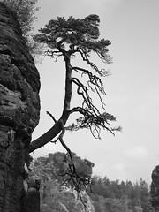 Pine #2 (Thunderbird61) Tags: pine solitaire sächsischeschweiz sachsen germany kiefer monochrome monochrom mono mediumformat pentax pentaxart tree sw bw nb zw noirblanc noiretblanc blancoynegro biancoenero zwartwit czarnobiale blackwhite landscape paysanne paisaje campagna landgebied dreunen boma botavara arbre