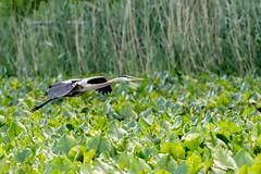 Great Blue Heron (mayekarulhas) Tags: philadelphia pennsylvania unitedstates us heron greatblueheron canon canon500mm canon1dxmark2 johnheinznaturereserve wildlife wild