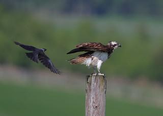 Osprey & Jackdaw