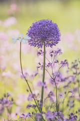 standing tall (gian_tg) Tags: alliumflower meadow purple green 7dwf bokeh uprightformat crazytuesdaytheme margueritedaisy wildflowers softtones