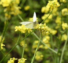 Small White, Woodside Road, Cwmbran 31 May 2018 (Cold War Warrior) Tags: butterfly lepidoptera white cwmbran smallwhite artogeiarapae