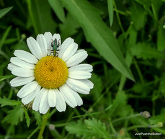 Who you calling fat legged? (robbie20161) Tags: beetle thicklegged falseoilbeetle oedemeranobilis oxeye daisy flowers wildflowers nature wildlife insects leucanthemum vulgare