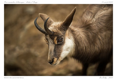 Parc animalier d'Auvergne (BerColly) Tags: france auvergne puydedome ardescouze parc animalier animaux animals chamois bercolly portrait google flickr