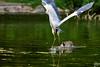 DSC01664 (6EQXAXCNZ4GQKGTIHGBS6KE4WJ) Tags: vogel reiher gans birds