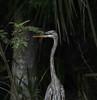 06-01-18-0020762 (Lake Worth) Tags: animal animals bird birds birdwatcher everglades southflorida feathers florida nature outdoor outdoors waterbirds wetlands wildlife wings