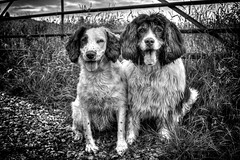 Ant and Dec of the doggy world! (Missy Jussy) Tags: antdecofthedoggyworld mollie molliemunch rupert rupertbear dogs dogportrait dogwalk pet petportrait animal animalportrait malespringerspaniel femalespringerspaniel gate field grass sky farmland fantastic50mm 50mm ef50mmf18ll canon50mm canon 5d canon5dmarkll canon5d canoneos5dmarkii outdoor outside countryside mono monochrome bw blackwhite blackandwhite littledoglaughednoiret