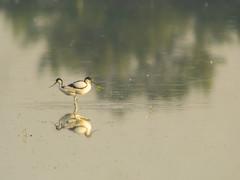 P5310304 (turbok) Tags: säbelschnäblerrecurvirostraavosetta tiere vögel wildtiere c kurt krimberger