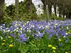 Bluebells. (jenichesney57) Tags: bluebells blue white yellow bank street trees town panasoniclumix flowers weeds dandelions grass green newnhamonsevern