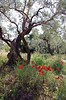 in the olive grove (Tofubratwurst) Tags: griechenland oliven olives greece mohn poppy tofubratwurst pentax pentaxk5ii pelion thessalien pilio πήλιο