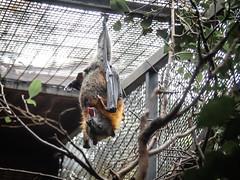 *YAWN* (Daveography.ca) Tags: upsidedown hanging yawn australia bat gosford flyingfox sydney nsw australianreptilepark animal