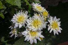 Maig_5030 (Joanbrebo) Tags: girona catalunya españa es tempsdeflors tempsdeflors2018 flors flowers flores fiori fleur blumen blossom canoneos80d eosd efs1018mmf4556isstm autofocus greatphotographers