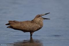 Wading Hamerkop (leendert3) Tags: leonmolenaar southafrica krugernationalpark wildlife nature birds hamerkop ngc npc coth5