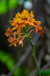 Epidendrum radicans o Estrella de Fuego