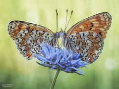 Entrelazadas. (Jesus Tejon) Tags: macrofografia mariposa macro macrogrupo insectos duo primavera naturaleza nature olympus 60mm