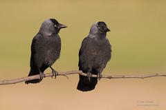 Jackdaws (Ian Locock Photography) Tags: 2017 birds hortobagy hungary jackdaw