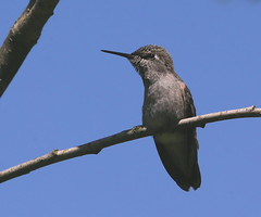 My shadow  :) (Paridae) Tags: hummingbird familytrochilidae birdsofthewetlands birdsofbritishcolumbia thingswithwings afewofmyfavouritethings featheredfriends canoneos1dx juvenilehummingbird annashummingbird calypteanna