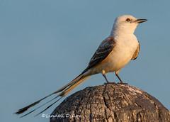 Scissortail (Lindell Dillon) Tags: scissortailedflycatcher scissortail neotropical birding nature oklahoma wildoklahoma lindelldillon