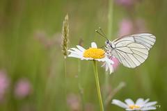 NAW-1176 (Nawred85) Tags: animaux boisdecéné insectes localisation lépidoptères nature papillon sauvages