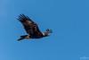 Dark Day for the Eagle (BlueberryAsh) Tags: wtp birds wedgetailedeagle aquilaaudax birdofprey birdinflight eagle nikond500 tamron150600 australianbird raptor