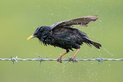 Starling (Simon Stobart) Tags: starling sturnus vulgaris wet wire drying shaking water droplets northeastengland uk