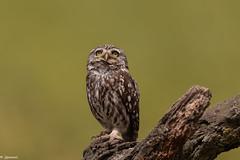 Chevêche d'Athéna (Athene noctua) - Little Owl (jf Pascal) Tags: espagne catalogne lérida chevêchedathéna athenenoctua littleowl strigiformes strigidés
