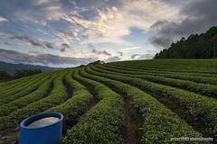 Tea Plantation (grant1980:)) Tags: tea plantation