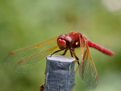 Cardinal Meadowhawk (piranhabros) Tags: cardinalmeadowhawk meadowhawk insect dragonfly animal garden red macro