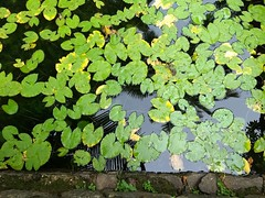 Lotus (Abraham Jacob N) Tags: lotus green water nature kottayam kerala india