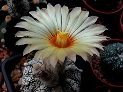 Astrophytum flower (Skolnik Collection) Tags: succulent cactus mexico skolnik collection propagation fitotron fytotron macro photo digital camera benq selected hybrid multiflower detail nature close nursery winter hardy sempervivum sedum astrophytum