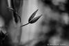still lifes... (andrealinss) Tags: bw blackandwhite schwarzweiss detail clematis andrealinss 35mm stilllifes garden availablelight