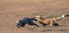 Fox play (jeff's pixels) Tags: red sanjuanisland fox foxes kit animal mammal play nature washington pnw pacificnorthwest nikon d850