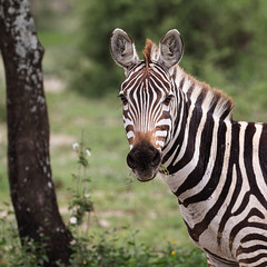 Stripes Make The New Week Look Slimmer (AnyMotion) Tags: plainszebra steppenzebra equusquagga portrait porträt stripes streifen tree baum bokeh 2018 anymotion ndutu ngorongoroconservationarea tanzania tansania africa afrika travel reisen animal animals tiere nature natur wildlife 7d2 canoneos7dmarkii square 1600x1600 ngc npc