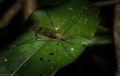 Gynoplistia sp? (dustaway) Tags: arthropoda insecta diptera tipulidae gynoplistia cranefly australianinsects australia nature rotarypark rprr rotaryparkrainforestreserve lismore northernrivers nsw