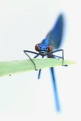 Immenkorento -  Calopteryx splendens - Banded demoiselle damselfly (Henri Koskinen) Tags: calopteryx splendens immenkorento banded demoiselle damselfly dragonfly odonata sudenkorento espoo finland 02062018