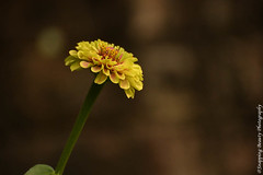 Yellow Zinnia (Snapping Beauty) Tags: floral flowers garden nature bloom yellow 2018 years spring natural abstract day vibrantcolor background petal seasons peace stills virginia beautyinnature nopeople photography clean colors publicpark horizontal places organic esp