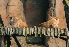 Lions side-by-side (Josiedurney) Tags: zoo londonzoo camdenzoo camden london animals enclosure spring summer 2018 city uk captialcity england adventure fun beautiful amazing wildlife portraits outside naturallight daylight composition edited lightroom sunny shade lions lionesses lioness bridge wooden symetry
